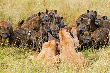 Two Lionesses (Panthera leo) trying to defend kill from large pack of Spotted hyaenas (Crocuta crocuta) Masai-Mara game reserve, Kenya  -  Denis Huot/ npl