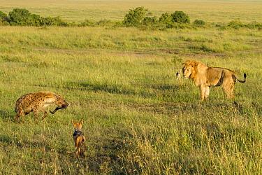 Male Lion (Panthera leo), Spotted hyaena (Crocuta crocuta) and Black-backed jackals (Canis mesomelas) at site of kill, Masai-Mara game reserve, Kenya  -  Denis Huot/ npl