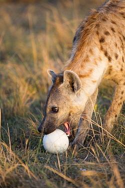 Spotted hyaena (Crocuta crocuta) female picking up Ostrich (Struthio camelus) egg, Masai-Mara game reserve, Kenya  -  Denis Huot/ npl
