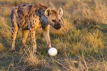 Spotted hyaena (Crocuta crocuta) female with Ostrich (Struthio camelus) egg, Masai-Mara game reserve, Kenya  -  Denis Huot/ npl