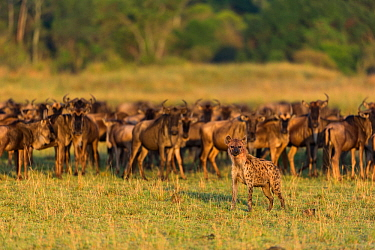 Spotted hyaena (Crocuta crocuta) standing in front of a herd of Wildebeest (Connochaetes taurinus), Masai-Mara game reserve, Kenya  -  Denis Huot/ npl