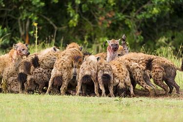 Spotted hyaena (Crocuta crocuta) pack feeding on a zebra kill stolen from lions, Masai-Mara game reserve, Kenya  -  Denis Huot/ npl