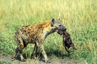 Spotted hyaena (Crocuta crocuta) female carrying baby to new den, Masai-Mara game reserve, Kenya  -  Denis Huot/ npl