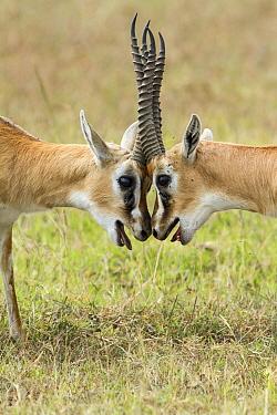 Two male Thomsons gazelles (Eudorcas thomsonii) fighting, Masai-Mara game reserve, Kenya  -  Denis Huot/ npl