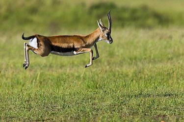 Thomsons gazelle (Eudorcas thomsonii) male pronking, Masai-Mara game reserve, Kenya  -  Denis Huot/ npl