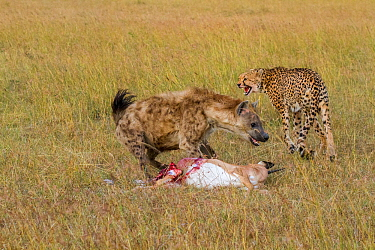 Juvenile Cheetah (Acinonyx jubatus) fighting with Spotted hyaena (Crocuta crocuta) over kill, Masai-Mara game reserve, Kenya  -  Denis Huot/ npl