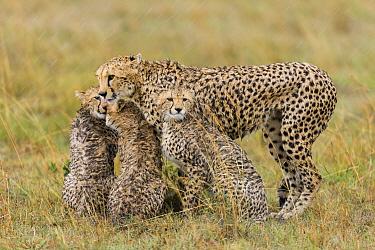 Cheetah (Acinonyx jubatus) mother with cubs in the rain, Masai-Mara game reserve, Kenya  -  Denis Huot/ npl