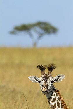 Young Masai giraffe (Giraffa camelopardalis tippelskirchi) in savanna, Masai-Mara game reserve, Kenya  -  Denis Huot/ npl