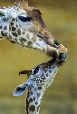 West African giraffe (Giraffa camelopardalis peralta) mother and baby nuzzling each other Bioparc Zoo de Doue la Fontaine, France Captive, occurs in south-western Niger Endangered subspecies  -  Denis Huot/ npl