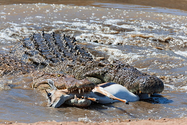 Nile crocodiles (Crocodylus niloticus) with Thomsons gazelle (Eudorcas thomsonii) prey, Mara river, Masai-Mara game reserve, Kenya  -  Denis Huot/ npl