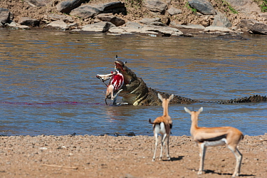 Nile crocodile (Crocodylus niloticus) with Thomsons gazelle (Eudorcas thomsonii) prey, Mara river, Masai-Mara game reserve, Kenya  -  Denis Huot/ npl