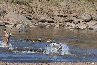 Nile crocodiles (Crocodylus niloticus) predating Thomsons gazelles (Eudorcas thomsonii) Mara river, Masai-Mara game reserve, Kenya  -  Denis Huot/ npl