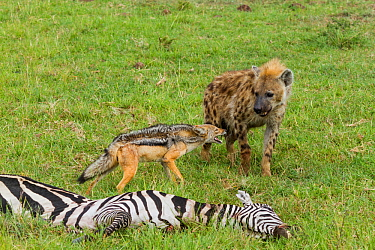 Black-backed jackal (Canis mesomelas) and Spotted hyaena (Crocuta crocuta) interaction at zebra carcass, Masai-Mara game reserve, Kenya  -  Denis Huot/ npl