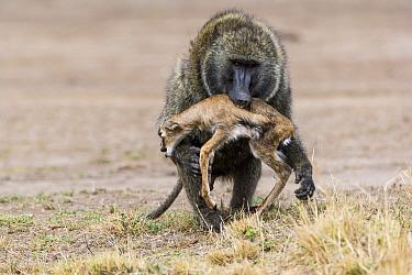 Olive baboon (Papio anubis) male with newborn Thomsons gazelle (Eudorcas thomsonii) prey, Masai-Mara game reserve, Kenya  -  Denis Huot/ npl