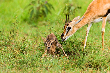 Thomsons gazelle (Eudorcas thomsonii) female with newborn, Masai-Mara game reserve, Kenya  -  Denis Huot/ npl
