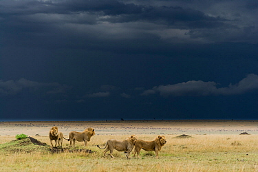 Coalition of male Lions (Panthera leo) in grassland before storm, Masai-Mara game reserve, Kenya  -  Denis Huot/ npl