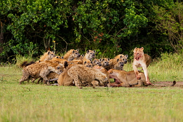 Lionesses (Panthera leo) in conflict with large group of Spotted hyaenas (Crocuta crocuta) over kill Masai-Mara game reserve, Kenya  -  Denis Huot/ npl