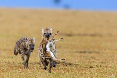 Spotted hyaenas (Crocuta crocuta) predating baby Thomsons gazelle (Eudorcas thomsonii) Masai-Mara game reserve, Kenya  -  Denis Huot/ npl