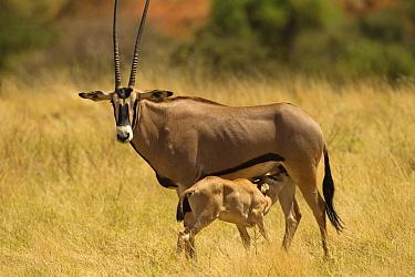 Beisa oryx (Oryx beisa beisa) mother with suckling baby, Samburu Game Reserve, Kenya October  -  Mary Mcdonald/ npl