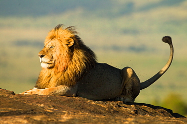 African lion (Panthera leo), resting on a rock, surrounded by flies, Masai Mara Game Reserve, Kenya November  -  Mary Mcdonald/ npl