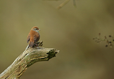 Cettis warbler (Cettia cetti) perched, Suffolk, UK, April  -  Robin Chittenden/ npl
