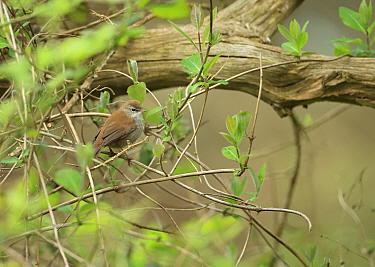 Cettis warbler (Cettia cetti) Suffolk, England, UK, April  -  Robin Chittenden/ npl