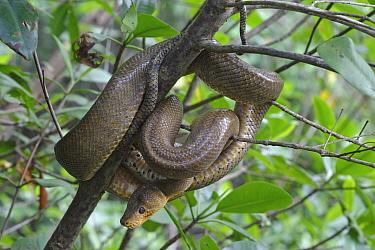 Ruschenbergs tree boa (Corallus ruschenbergerii) on branch, Trinidad and Tobago  -  Robin Chittenden/ npl