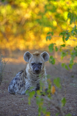 Spotted Hyena (Crocuta crocuta) sitting on ground close to den Botswana July  -  Andy Trowbridge/ npl