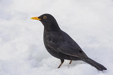 Common blackbird (Turdus merula) male standing in snow Southern Norway March  -  Andy Trowbridge/ npl