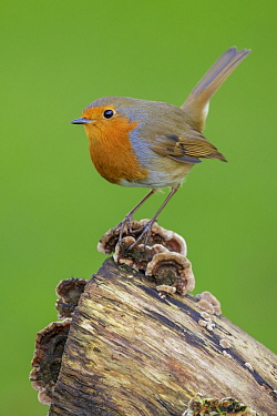 European Robin (Erithacus rubecula) perched on old tree stump with fungus London, England, UK December  -  Andy Trowbridge/ npl