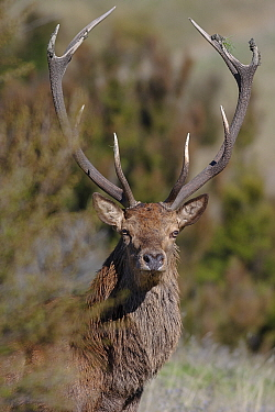 Red Deer (Cervus elaphus) stag close-up portrait Introduced species Inland Kaikoura Range, South Island, New Zealand April  -  Andy Trowbridge/ npl
