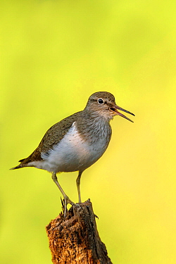 Common Sandpiper (Actitis hypoleucos) perched on stump calling Tomter, Southern Norway July  -  Andy Trowbridge/ npl