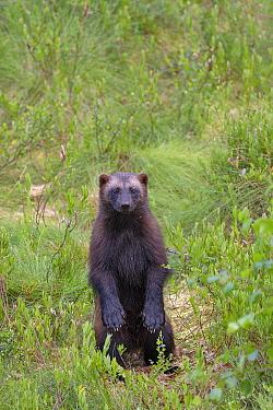 Wolverine (Gulo gulo) standing up on back legs Lieksa, Finland July  -  Andy Trowbridge/ npl