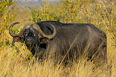 African, Cape Buffalo (Syncerus caffer) portrait Sabi Sands, South Africa July  -  Andy Trowbridge/ npl