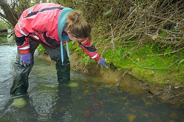 Dani Siddall of Derek Gow Consultancy inspecting Water vole (Arvicola amphibius) burrow in river bank for signs of recent use during survey, near Bude, Cornwall, UK, April 2014 Model released  -  Nick Upton/ npl