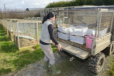 Rebecca Northey unloading cages of Water voles (Arvicola amphibius) selected for breeding for reintroduction project, Derek Gow Consultancy, near Lifton, Devon, UK, March 2014 Model released  -  Nick Upton/ npl