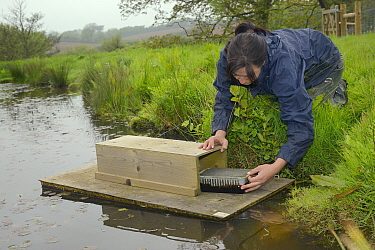 Rebecca Northey of Derek Gow Consultancy checking clay tray on floating raft tethered to the bank of pond for footprints of American mink (Mustela vison), a predator of Water voles (Arvicola amphibius...  -  Nick Upton/ npl