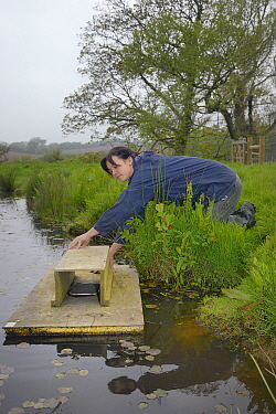 Rebecca Northey of Derek Gow Consultancy checking clay tray on floating raft tethered to the bank of pond for footprints of American mink (Mustela vison), major predator of Water voles (Arvicola amphi...  -  Nick Upton/ npl