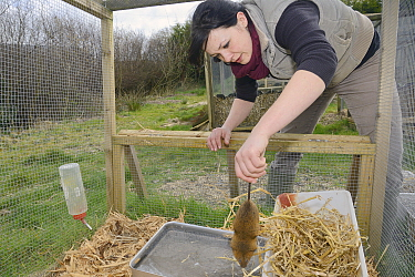 Rebecca Northey releasing Water vole (Arvicola amphibius) into breeding cage for reintroduction project, Derek Gow Consultancy, near Lifton, Devon, UK, March 2014 Model released  -  Nick Upton/ npl