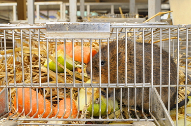 Close up of captive bred Water vole (Arvicola amphibius) in cage with food, before release into wild during reintroduction project, Derek Gow Consultancy, near Lifton, Devon, UK, March  -  Nick Upton/ npl
