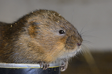 Close up of captive bred Water vole (Arvicola amphibius) before release into the wild during reintroduction project, Derek Gow Consultancy, near Lifton, Devon, UK, March  -  Nick Upton/ npl