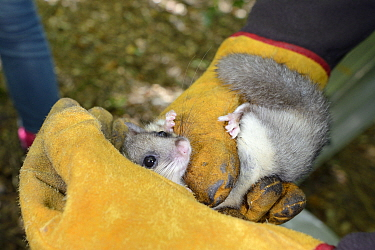 Adult Edible, Fat Dormouse (Glis glis) held in leather gloves during a monitoring project in woodland where this European species has become naturalised, Buckinghamshire, UK, August, Model released  -  Nick Upton/ npl