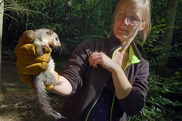 Adult Edible, Fat Dormouse (Glis glis) held in a leather glove and being inspected by Dani Rozycka, during a monitoring project in woodland where this European species has become naturalised, Buckingh...  -  Nick Upton/ npl