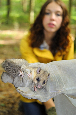 Sally Hyslop looking at an adult Edible, Fat Dormouse (Glis glis) held in a glove, during a monitoring project in woodland where this European species has become naturalised, Buckinghamshire, UK, Augu...  -  Nick Upton/ npl
