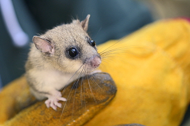 Close up of an adult Edible, Fat Dormouse (Glis glis) held in a leather glove during a monitoring project in woodland where this European species has become naturalised, Buckinghamshire, UK, August, M...  -  Nick Upton/ npl