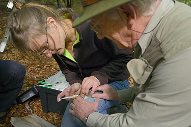 Dani Rozycka injecting a microchip into a young Edible, Fat Dormouse (Glis glis) held by Peter Grimsey during a monitoring project in woodland where this European species has become naturalised, Bucki...  -  Nick Upton/ npl