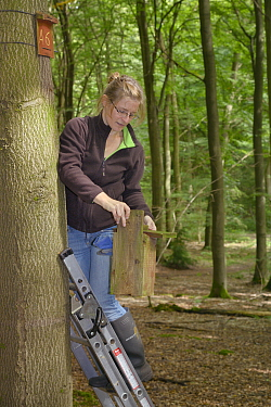 Dani Rozycka inspecting Edible, Fat Dormouse (Glis glis) nestbox temporarily detached from a Beech treetrunk in woodland where this European species has become naturalised, Buckinghamshire, UK, August...  -  Nick Upton/ npl