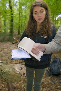 Researchers checking transponder microchip code number of adult Edible, Fat Dormouse (Glis glis) as Louise Ryan waits to note down the number During a monitoring project in woodland where this Europea...  -  Nick Upton/ npl