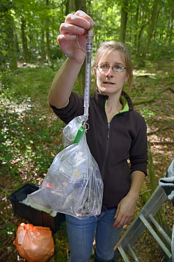 Dani Rozycka weighing an adult Edible, Fat Dormouse (Glis glis) in a plastic bag on a spring balance In woodland where this European species has become naturalised, Buckinghamshire, UK, August Model r...  -  Nick Upton/ npl