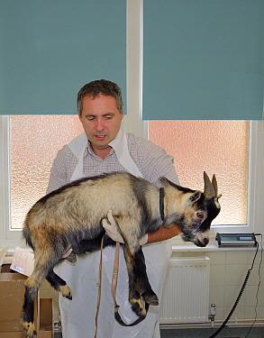 Veterinarian Dewi Jones carrying a young male Pygmy goat to an operating theatre before castrating it, Wiltshire, UK, September 2014 Model released  -  Nick Upton/ npl